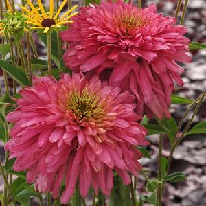 ECHINACEA 'Pink Poodle' ®