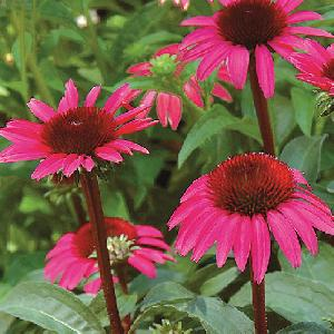 ECHINACEA purpurea 'After Midnight'