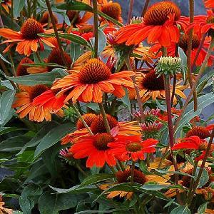 ECHINACEA purpurea 'Kismet Intense Orange'