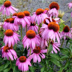 ECHINACEA purpurea 'Kim's Knee High' ®