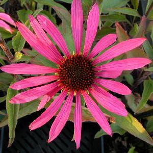 ECHINACEA purpurea 'Maxima'