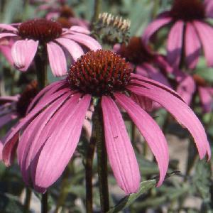 ECHINACEA purpurea 'Sonnenlachs'