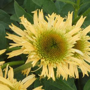 ECHINACEA 'Secret Joy'®