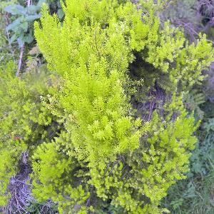 ERICA arborea 'Estrella Gold'