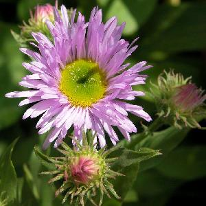 ERIGERON 'Sincerity'