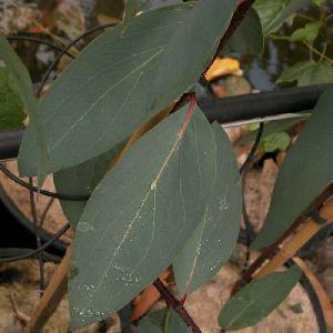 EUCALYPTUS pauciflora ssp.niphophila