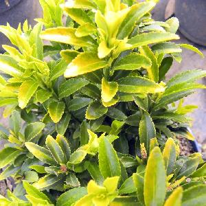 EUONYMUS japonicus 'Happiness'