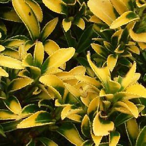 EUONYMUS japonicus 'Microphyllus Pulchellus'