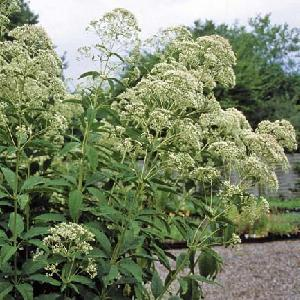 EUPATORIUM fistulosum f.albidum 'Ivory Towers'