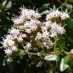 EUPATORIUM ligustrinum (=micranthum)