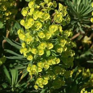 EUPHORBIA characias ssp. wulfenii 'Shorty'