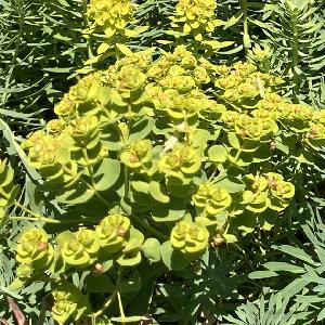EUPHORBIA seguierana ssp. niciciana