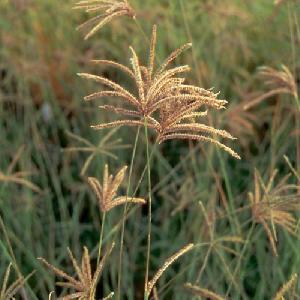 EUSTACHYS distichophylla (Chloris dis.)