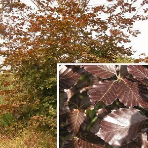FAGUS sylvatica 'Atropunicea' (=purpurea)