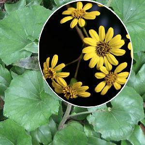 FARFUGIUM japonicum (=LIGULARIA tussilaginea)
