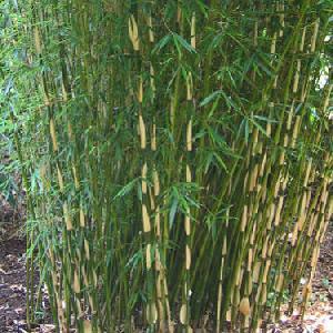 FARGESIA robusta