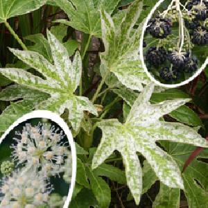FATSIA japonica 'Spider's Web'