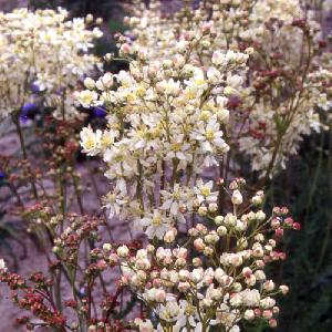FILIPENDULA vulgaris (hexapetala)
