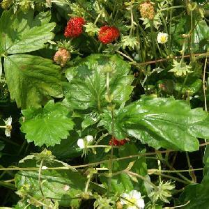FRAGARIA vesca var. monophylla
