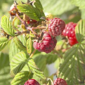 Framboisier 'September' (RUBUS...)