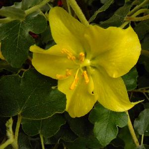 FREMONTODENDRON californicum 'California Glory'