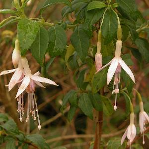 FUCHSIA magellanica var. molinae