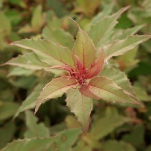 FUCHSIA magellanica 'Versicolor' ('Tricolor')