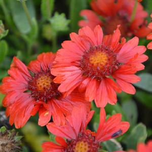 GAILLARDIA aristata ?Sunset Celebration? ®