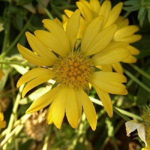 GAILLARDIA 'Aurea Pura' (G. 'Maxima Aurea')