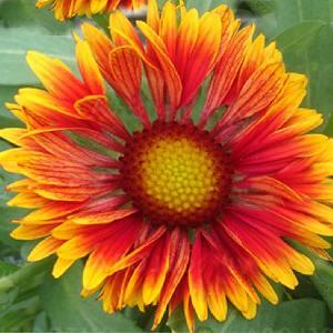 GAILLARDIA x grandiflora 'Spin Top Copper Sun'