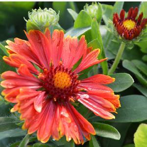GAILLARDIA x grandiflora 'Spin Top Red'