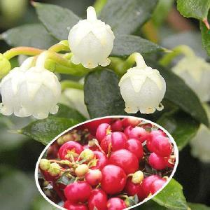 GAULTHERIA mucronata 'Crimsonia'