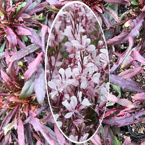 GAURA lindheimeri 'Gaudi Pink'