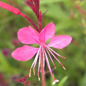 GAURA lindheimeri 'Siskiyou Pink'