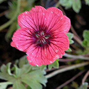 GERANIUM cinereum 'Jolly Jewel Salmon' ®