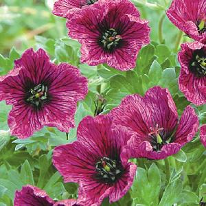 GERANIUM cinereum 'Purple Pillow' ®