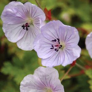 GERANIUM 'Lilac Ice'®