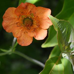 GEUM 'Totally Tangerine'®