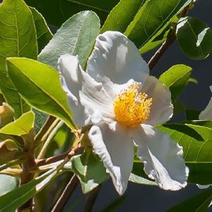 GORDONIA grandiflora