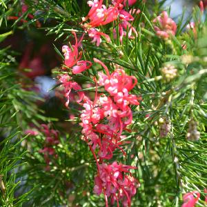 GREVILLEA rosmarinifolia 'Rosa Jenkinsii'