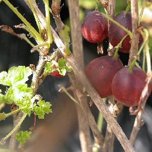 Groseillier à Maquereau 'Hinnonmäki' (rouge)