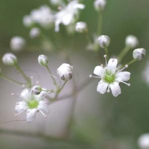 GYPSOPHILA pacifica