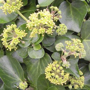 HEDERA helix 'Arborescens Nana'