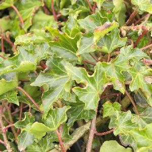 HEDERA helix 'Ivalace'