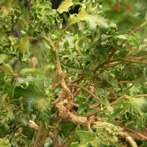 HEDERA helix 'Parsley Crested'