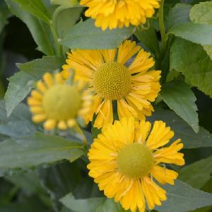 HELENIUM 'Double Trouble'®