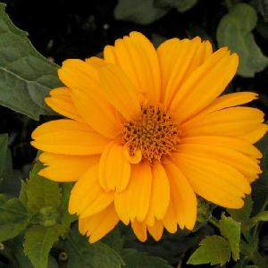 HELIOPSIS helianthoides 'Sommersonne'