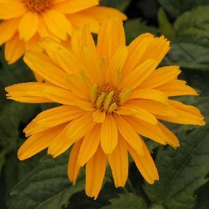 HELIOPSIS helianthoides 'Sonnenschild'