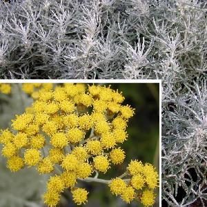 HELICHRYSUM italicum (angustifolium)