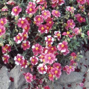 HELIANTHEMUM 'Raspberry Ripple'